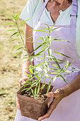 Femme tenant de jeunes semis de Pêcher (Persica vulgaris) âgés d'un an.