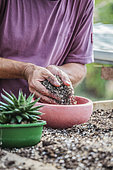 Man potting a hybrid Aloe (resembling a Gasteria, for connoisseurs).