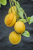Cluster of lemon 'Meyer' one of which carries a chimera: the fruit is partly formed of orange.