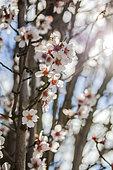 Almond tree (Prunus dulcis) in bloom in March