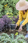 Woman planting a Lantana 'New Gold' in summer.