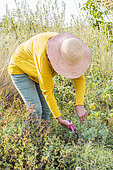 Woman harvesting Fringed rue (Ruta chalepensis) for maceration