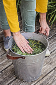 Preparation of a maceration of Fringed rue (Ruta chalepensis) against slugs