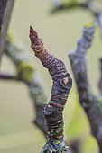 Wrinkled stalk bud of pear tree: short branch, wrinkled, evolving little lack of sap feed to give a button flower.