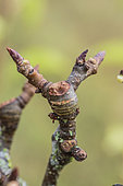 'Lambourde' bud pear: short branch with a bud that will give a button.