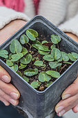 Persian Cyclamen seedlings (Cyclamen persicum) sown in a pot