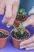 Transplant plantlet of Persian cyclamen (Cyclamen persicum) in individual pot