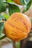 Variegated bitter orange 'Citrus aurantium Virgatum', 'Swiss bitter orange', 'Vatican Orange' or 'Lemon in lansquenets'