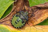 green shield bug – Palomena prasina, Castlewellan Forest Park, County Down, Northern Ireland, UK