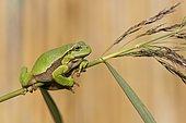 Tree frog (Hyla arborea), autumn, Middle Elbe Biosphere Reserve, Saxony-Anhalt, Germany, Europe
