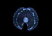 Poisson tripode (Ipnopidae sp) larvaire. Plongée en dérive de nuit en pleine mer à 30 pieds avec le fond à 650 pieds plus bas. Palm Beach, Floride, Océan Atlantique
