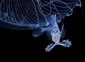 Poisson dérivant (Nomeidae sp) utilisant une méduse comme abri. Plongée en dérive de nuit en pleine mer à 30 pieds avec le fond à 650 pieds plus bas. Palm Beach, Floride, Océan Atlantique