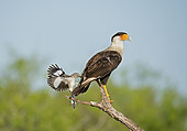A Northern Crested Caracara, Caracara cheriway, being harassed by a Northern Mocking Bird, Mimus polyglottos, after getting too close to the Mocking bird's nest. Texas, U.S.A.