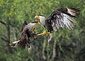a pair of Northern Crested Caracara, Caracara cheriway, in a fight. Texas, U.S.A.