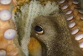 Common Octopus, Octopus vulgaris, guards its eggs. Blue Heron Bridge, Lake Worth Lagoon, Riviera Beach, Florida, U.S.A. Atlantic Ocean