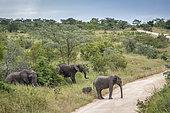 Éléphant d'Afrique (Loxodonta africana) groupe familial traversant une route de safari, parc national Kruger, Afrique du Sud