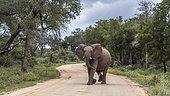 Éléphant d'Afrique (Loxodonta africana) traversant une route de safari, parc national Kruger, Afrique du Sud