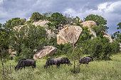 Gnou à queue noire (Connochaetes taurinus) petit groupe dans un paysage de rochers, parc national Kruger, Afrique du Sud