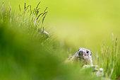 Marmot (Marmota marmota) in morning, Slovakia