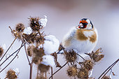 Goldfinch (Carduelis carduelis) in afternoon in winter, Slovakia