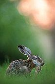 Hare (Lepus europaeus) in afternoon. Slovakia
