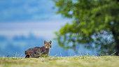 Wild cat (Felis silvestris) in afternoon, Slovakia