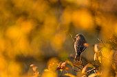 Robin (Erithacus rubecula) on branch in afertnoon, Slovakia