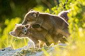 Renard roux (Vulpes vulpes) jouant près de la tanière, Slovaquie