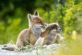 Renard roux (Vulpes vulpes) près de la tanière, Slovaquie