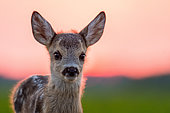 Roe deer (Capreolus capreolus) young in afternoon, Slovakia