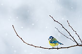 Blue tit (Cyanistes caeruleus) on a branch in winter, Slovakia