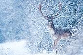 Daim (Dama dama) mâle dans la neige, Slovaquie