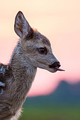 Roe deer (Capreolus capreolus) young in afternoon, Slovakia