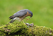 The Eurasian sparrowhawk, also known as the northern sparrowhawk, Accipiter nisus, stands over its meal. Kirkcudbright, Scotland.