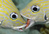 French Grunts, Haemulon flavolineatum, having a territorial fight. Bonaire, Netherlands Antilles, Atlantic Ocean.