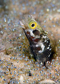 Secretary Blenny (Acanthemblemaria maria) has its home surrounded by the eggs of a Sargeant Major (Abudefduf saxatilis), Bonaire, Netherlands Antilles, Atlantic Ocean.