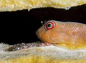 Red Clingfish (Arcos rubiginosus) guards its eggs. Bonaire, Netherlands Antilles. Atlantic Ocean.