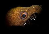 Viper Moray Eel, Enchelycore nigricans, Bonaire, Netherlands Antilles.
