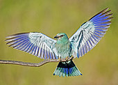 European Roller (Coracias garrulus) spreads its wings to show its beautiful colors. Bulgaria