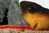 Clark's Anemonefish (Amphiprion clarkii) aerating its newly laid eggs. Tulamben, Bali, Indonesia. Pacific Ocean.
