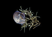 Female Paper Nautilus, Argonauta species, found hiding in Sargassum during a blackwater drift dive. Palm Beach, Florida, U.S.A. Atlantic Ocean.