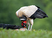 A Black Vulture (Coragyps atratus), sneaks in to take a bite of a carcass while a King Vulture (Sarcoramphus papa), feeds. Costa Rica.