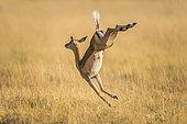 Impala (Aepyceros melampus), female jumping on the run, Moremi wildlife Reserve, Ngamiland, Botswana, Africa