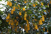 Berberis (Berberis valdiviana) en fleurs