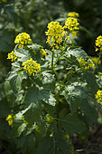 Moutarde blanche (Sinapis alba). Fleurs