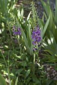 Molène de Phénicie (Verbascum phoeniceum) 'Violetta'. Plants semés se propageant au jardin dans du gravier