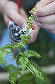 Taille au sécateur d'une hampe florale de Basilic (Ocimum basilicum) pour favoriser de nouvelles pousses.