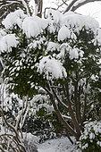 Neige sur un Laurier cerise (Prunus laurocerasus)