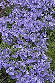 Phlox bleu (Phlox divaricata) 'Blue Moon' en fleurs