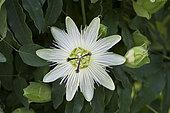 Passiflore bleue (Passiflora caerulea) 'Constance Elliott', fleur